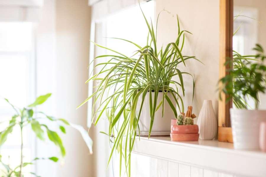Spider Plants