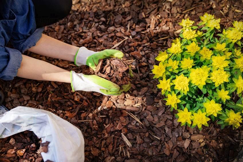 Mulching around flowers