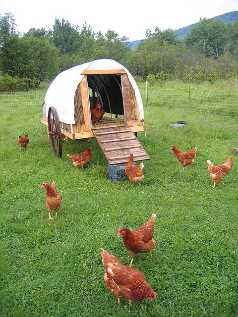 How to Get Started Raising Your Backyard Chickens