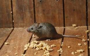 Mouse/Rat Control