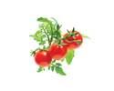 #1 Tomato Plant