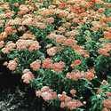 Greenleaf Nursery-OK 9512.013.1 1GP Terra Cotta Yarrow
