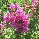 GREENLEAF NURSERY-OK 3820.010.1 #1 Royalty Crapemyrtle