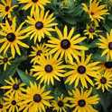 GREENLEAF NURSERY-OK 9297.013.1 Goldstrum Black Eyed Susan #1