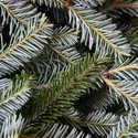 Dutchman Tree FFC81