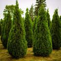 Arborvitae Emerald