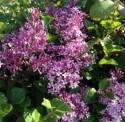 Dwarf Korean Lilac #5