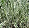 Variegated Silver Maiden Grass #5