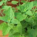 Catnip Mint Seed