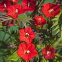 Cardinal Climber Vine Seed