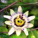 Passion Flower Seed