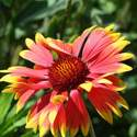 Blanketflower Gaillardia Aristata Seed