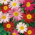 Painted Daisy Single Mixed Colors Seed