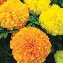 Marigold Ferry's Best Mix Flower Seed