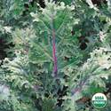 Organic Kale Red Russian Seed