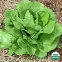 Organic Lettuce Parris Island Seed