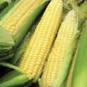 Sweet Corn Bodacious Hybrid Seed