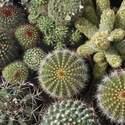 Cactus Mixed Varieties Seed