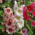 Hollyhock Summer Carnival Mixed Colors Seed