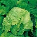 Lettuce Iceberg Heirloom Seed