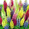 Lupine Perennial Russell Hybrid Mixed Colors