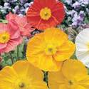 Poppy Iceland Mixed Colors Seed