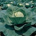 Cabbage Garden Leader Green Monster Seed