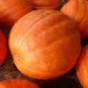 Pumpkin Big Max Seed