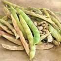Bean Garden Pinto Seed