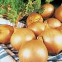 Onion Valencia Seed