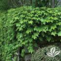 Parthenocissus Boston Ivy #1