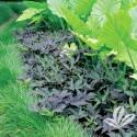 Blackie Sweet Potato Vine 1gp