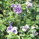 Magnificent Yesterday Today And Tomorrow Brunfelsia #3
