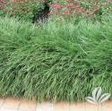 Crystal Falls Mondo Grass #1