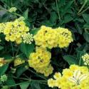 Chapel Hill Yellow Lantana #2