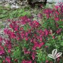 Cherry Queen Autumn Sage #1