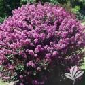 Enduring Lavender Crapemyrtle #3