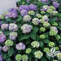 8-Inch Endless Summer Bloomstruck Hydrangea