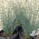 Inflexus Blue Dart Grass #1