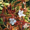 Kaleidoscope Abelia #3