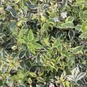 Twist Of Lime Abelia #1