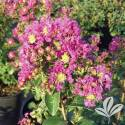 Purple Magic Crapemyrtle #3