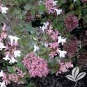 Rose Creek Abelia #1