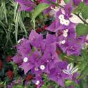 Royal Purple Bougainvillea #2