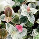 Snow N Summer  Asiatic Jasmine