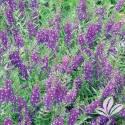 Serena Purple Angelonia #1