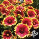 Sunset Snappy Blanket Flower #1