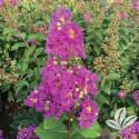 Tropical Purple Crapemyrtle #3
