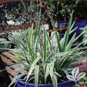 Variegated Flax Lily #1
