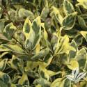 Variegated Privet Ligustrum #3
